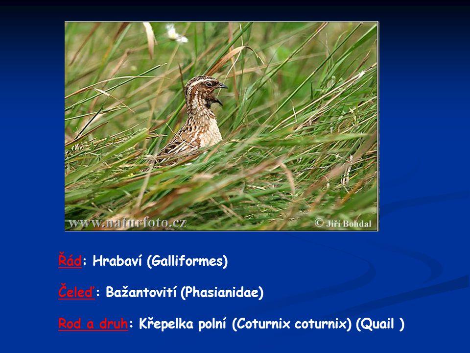 Řád: Hrabaví (Galliformes) Čeleď: Bažantovití (Phasianidae) Rod a druh: Křepelka polní (Coturnix coturnix) (Quail )