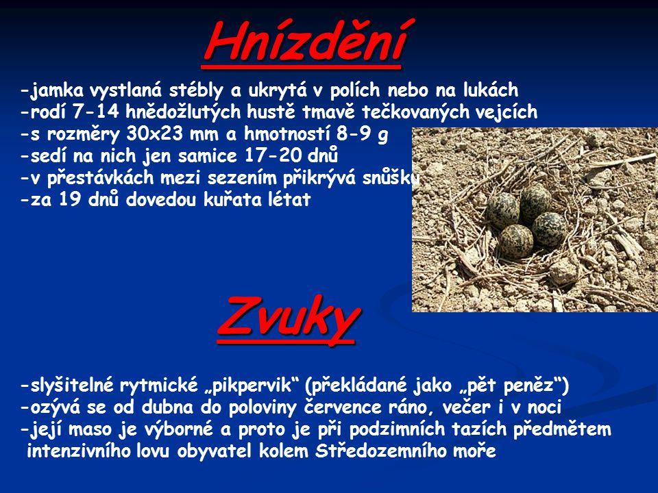 Hnízdění -jamka vystlaná stébly a ukrytá v polích nebo na lukách -rodí 7-14 hnědožlutých hustě tmavě tečkovaných vejcích -s rozměry 30x23 mm a hmotnos