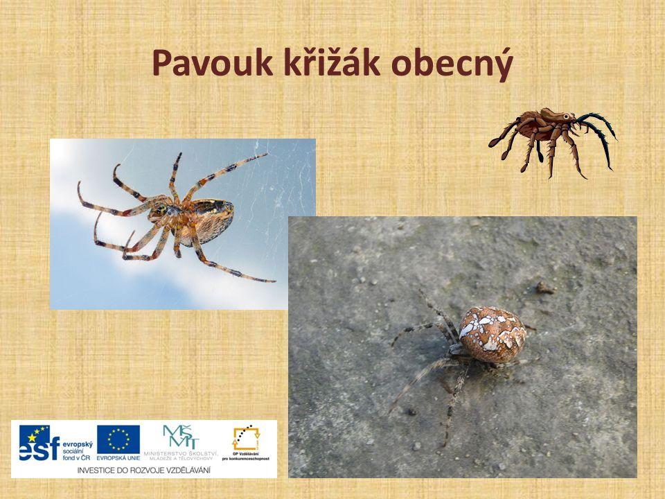 Pavouk křižák obecný