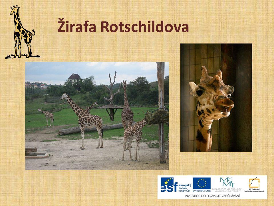 Žirafa Rotschildova