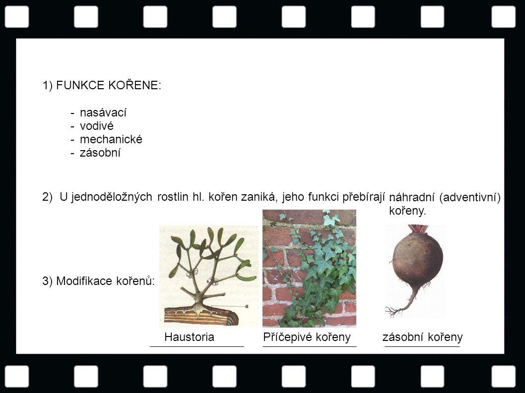 © Letohradské soukromé gymnázium o.p.s. 1) FUNKCE KOŘENE: -------- nasávací vodivé mechanické zásobní 2) U jednoděložných rostlin hl. kořen zaniká, je