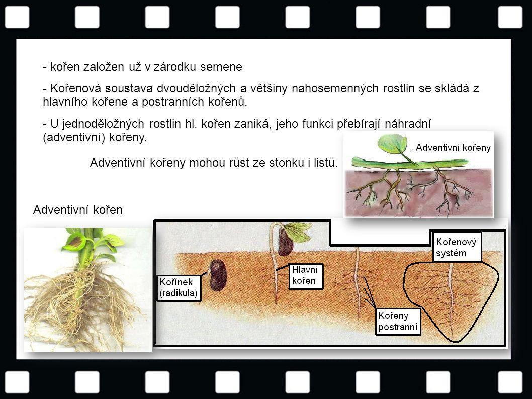 © Letohradské soukromé gymnázium o.p.s. - kořen založen už v zárodku semene - Kořenová soustava dvouděložných a většiny nahosemenných rostlin se sklád