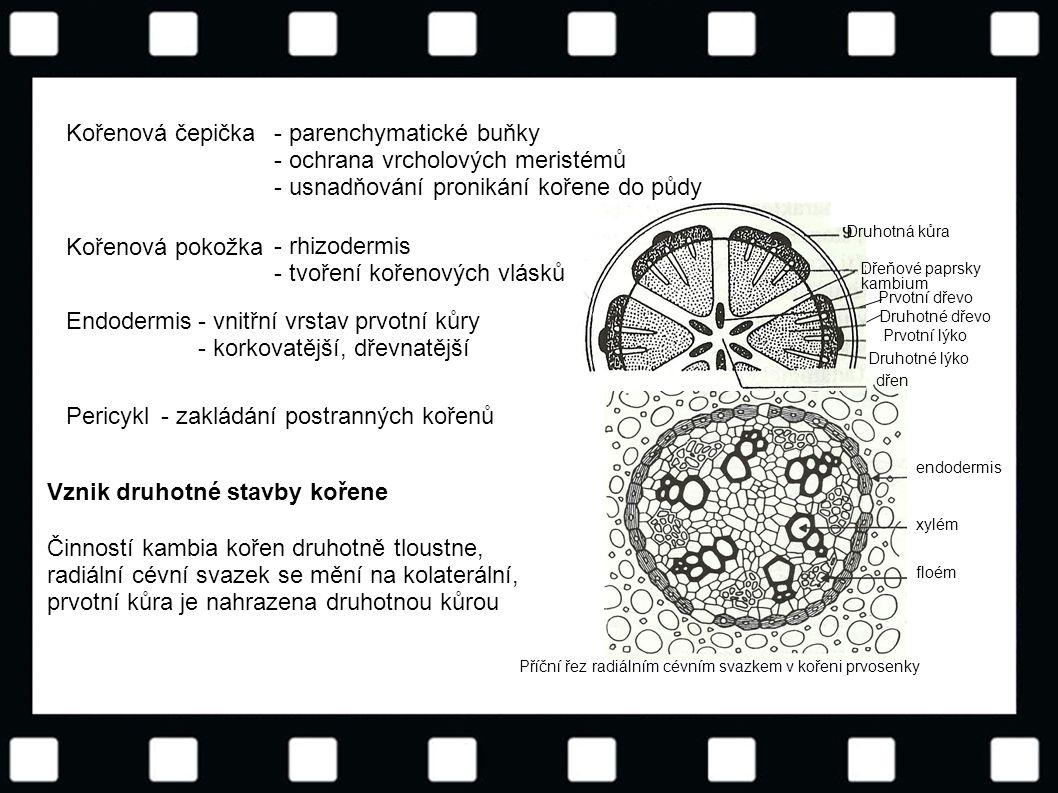 © Letohradské soukromé gymnázium o.p.s. floém xylém endodermis Příční řez radiálním cévním svazkem v kořeni prvosenky Kořenová čepička- parenchymatick