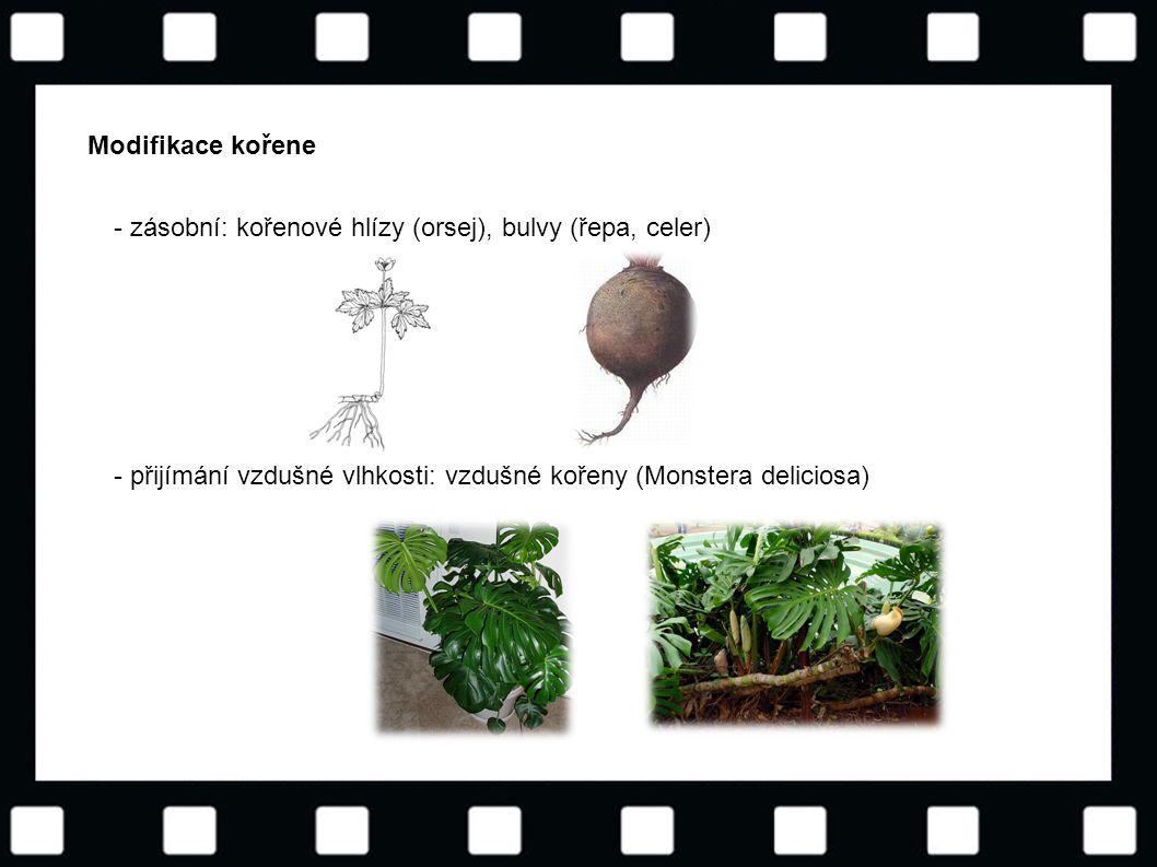 © Letohradské soukromé gymnázium o.p.s. Modifikace kořene - zásobní: kořenové hlízy (orsej), bulvy (řepa, celer) - přijímání vzdušné vlhkosti: vzdušné