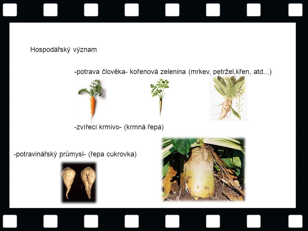 © Letohradské soukromé gymnázium o.p.s. Hospodářský význam -potrava člověka- kořenová zelenina (mrkev, petržel,křen, atd...) -zvířecí krmivo- (krmná ř