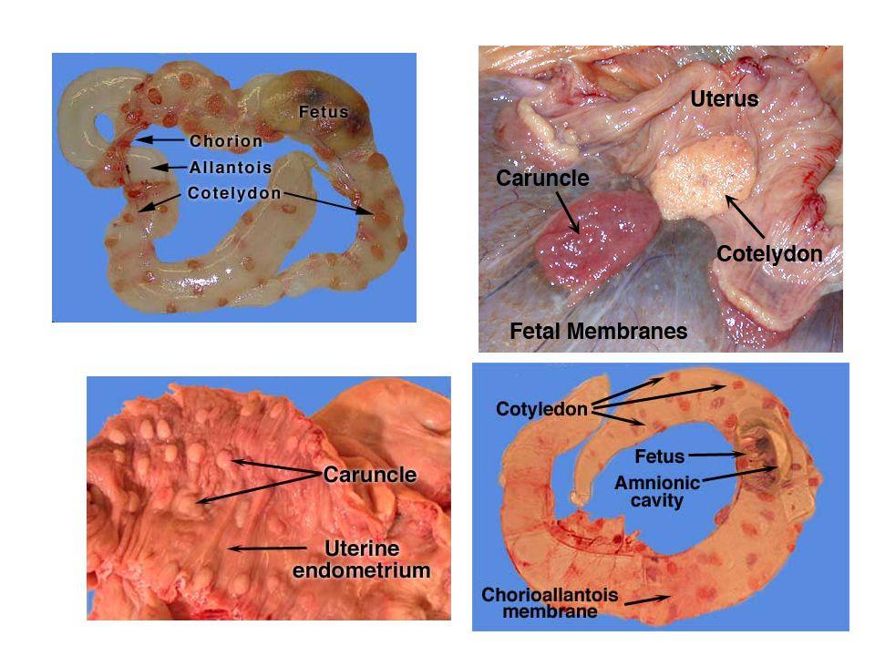 Placenty - Difúzní, epiteliochoriální (prase, lichokopytníci) -Kotyledonová, syndesmochoriální (přežvýk.) -Pásová, endoteliochoriální (masožravci) -Terčovitá (diskoidální), haemochoriální (primáti, hlodavci, zajíci) -Terčovitá, hemoepiteliochoriální (králík, ježek, myš, morče) Žloutkový váček Alantois Amnion Chorion Klky choria