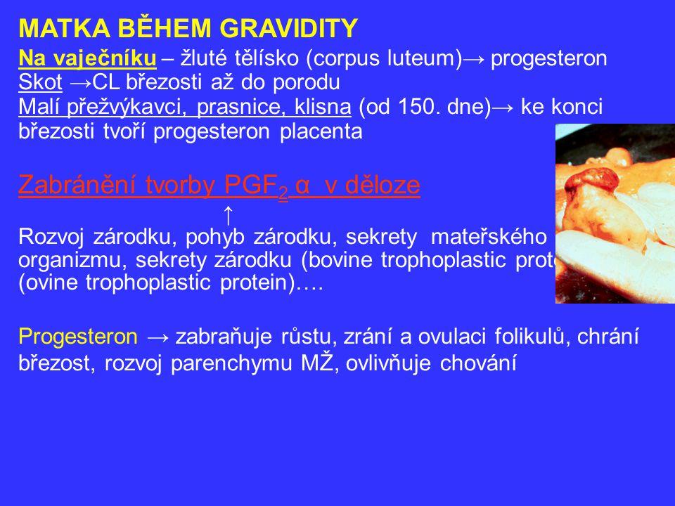 Děloha→ zvětšení, zvětšení hmotnosti, zeslabení stěny, děložní rohy→ asymetrie, víceplodá - přibližně stejný rozvoj obou rohů Na počátku gravidity → ↑chuť, příjem krmiva, metabolizmus, zlepšuje se výživný stav → ukládání T, bílkovin, vody ↑ hmotnosti – krávy o 8-10 % (bez obřezlé dělohy) prasnice - více Asymetrie břicha – krávy (zřetelně 2.