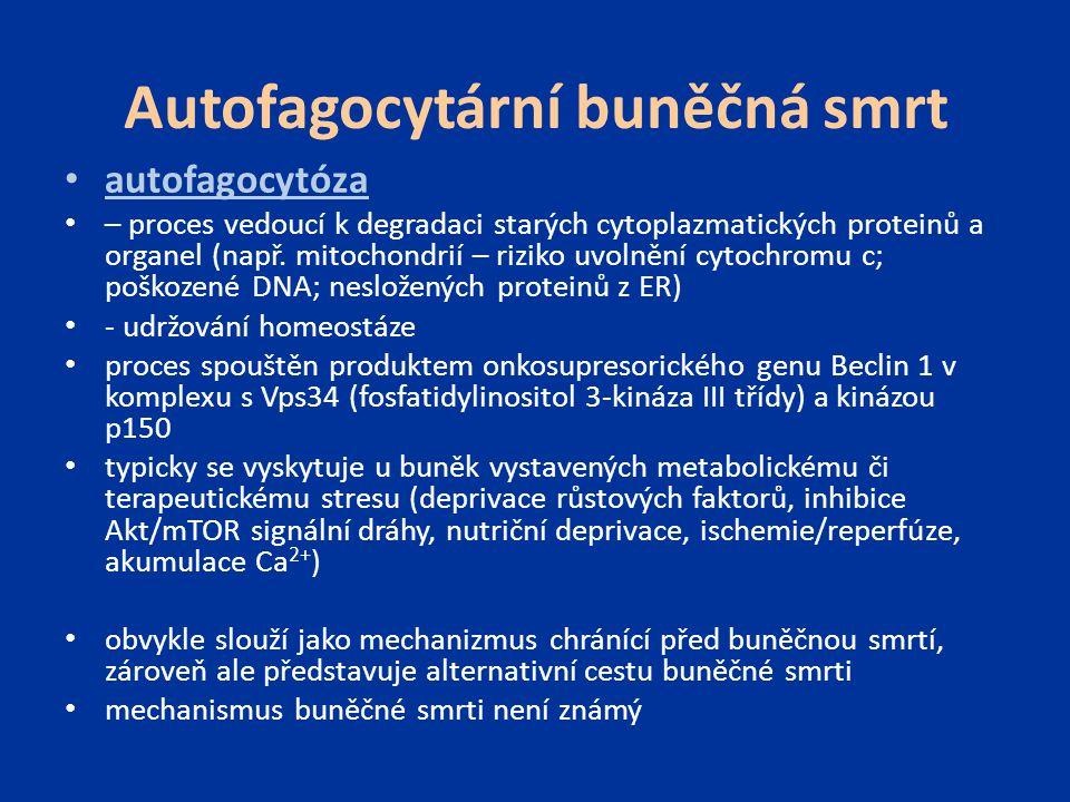 Autofagocytární buněčná smrt autofagocytóza – proces vedoucí k degradaci starých cytoplazmatických proteinů a organel (např. mitochondrií – riziko uvo