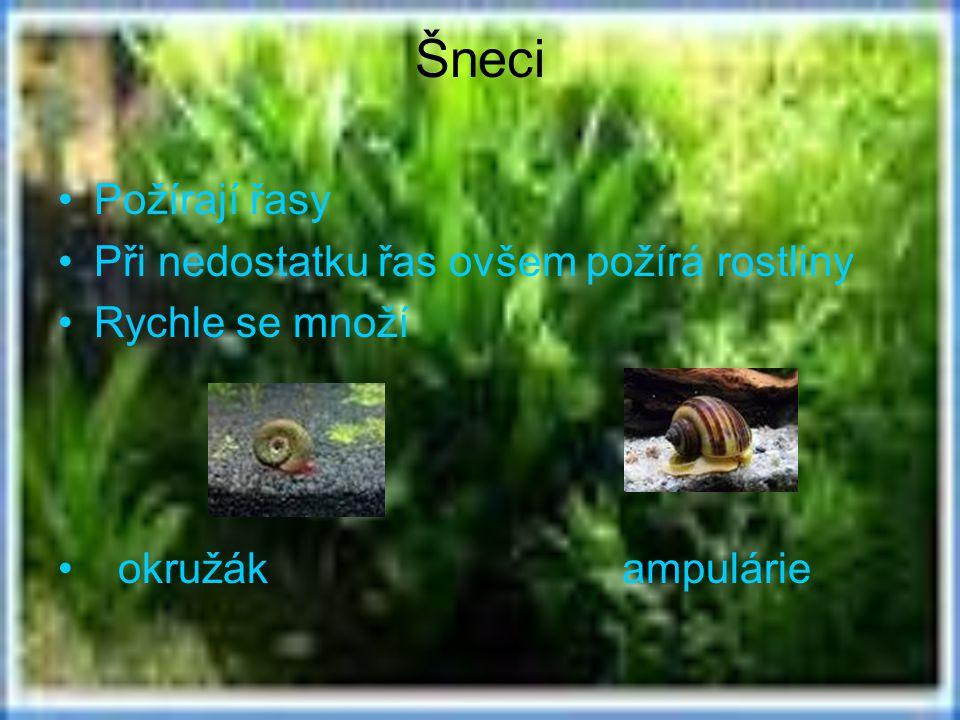 Šneci Požírají řasy Při nedostatku řas ovšem požírá rostliny Rychle se množí okružák ampulárie
