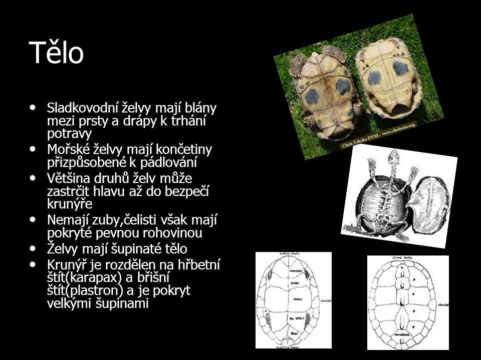 Tělo Sladkovodní želvy mají blány mezi prsty a drápy k trhání potravy Sladkovodní želvy mají blány mezi prsty a drápy k trhání potravy Mořské želvy ma