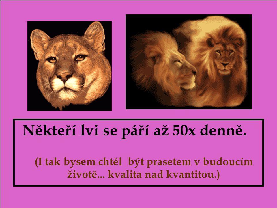 Někteří lvi se páří až 50x denně.(I tak bysem chtěl být prasetem v budoucím životě...