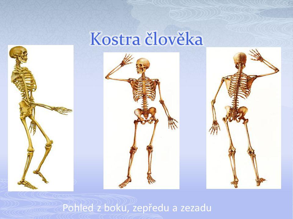  Kostru člověka tvoří asi 208-214 volně či pevně spojených kostí různého tvaru a velikostí.