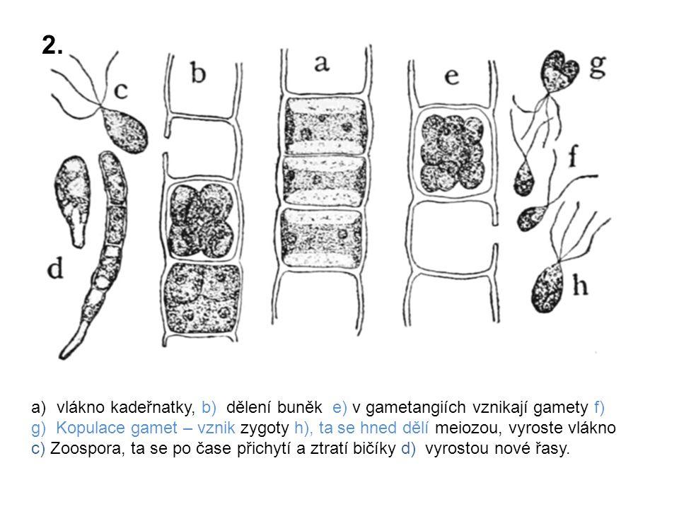 a)vlákno kadeřnatky, b) dělení buněk e) v gametangiích vznikají gamety f) g) Kopulace gamet – vznik zygoty h), ta se hned dělí meiozou, vyroste vlákno c) Zoospora, ta se po čase přichytí a ztratí bičíky d) vyrostou nové řasy.