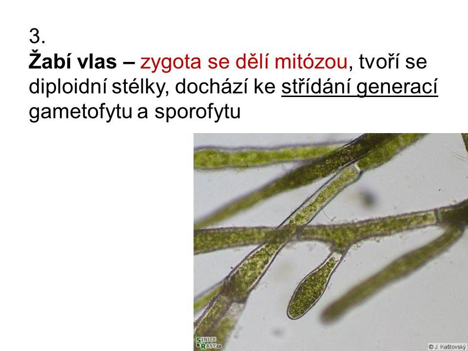 3. Žabí vlas – zygota se dělí mitózou, tvoří se diploidní stélky, dochází ke střídání generací gametofytu a sporofytu