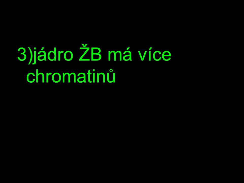 3)jádro ŽB má více chromatinů