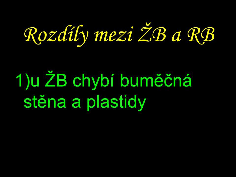 Rozdíly mezi ŽB a RB 1)u ŽB chybí buměčná stěna a plastidy