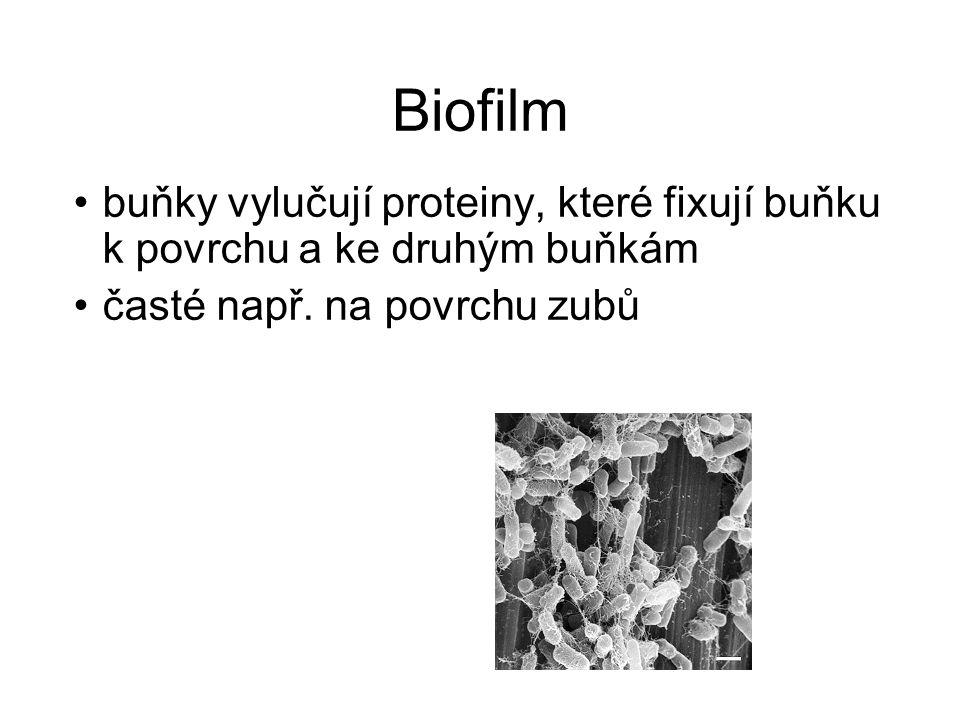 Biofilm buňky vylučují proteiny, které fixují buňku k povrchu a ke druhým buňkám časté např. na povrchu zubů