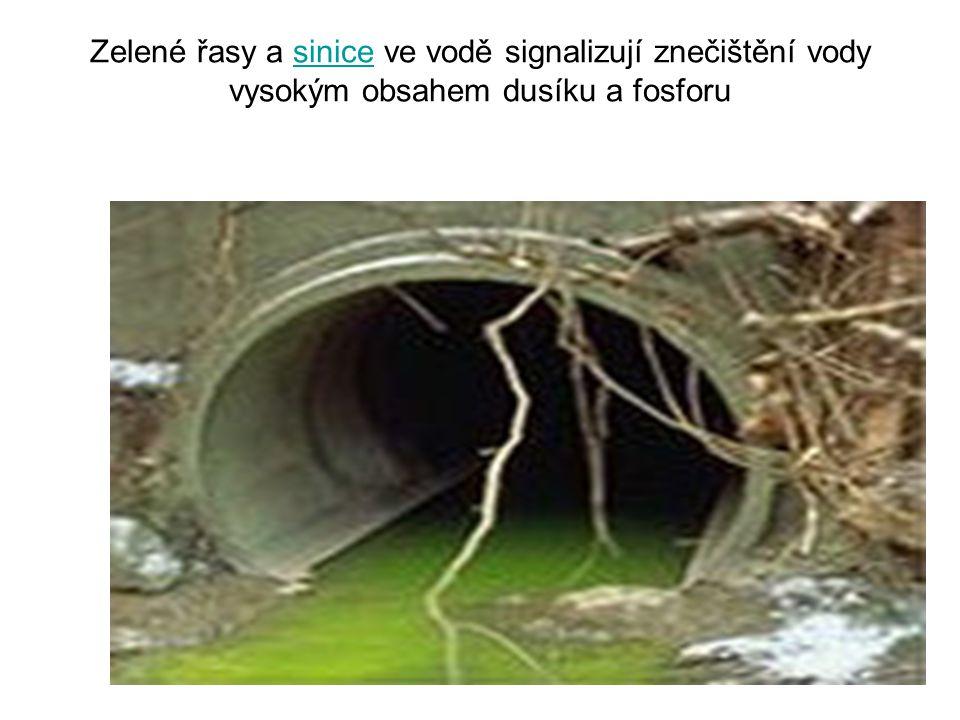 Zelené řasy a sinice ve vodě signalizují znečištění vody vysokým obsahem dusíku a fosforusinice