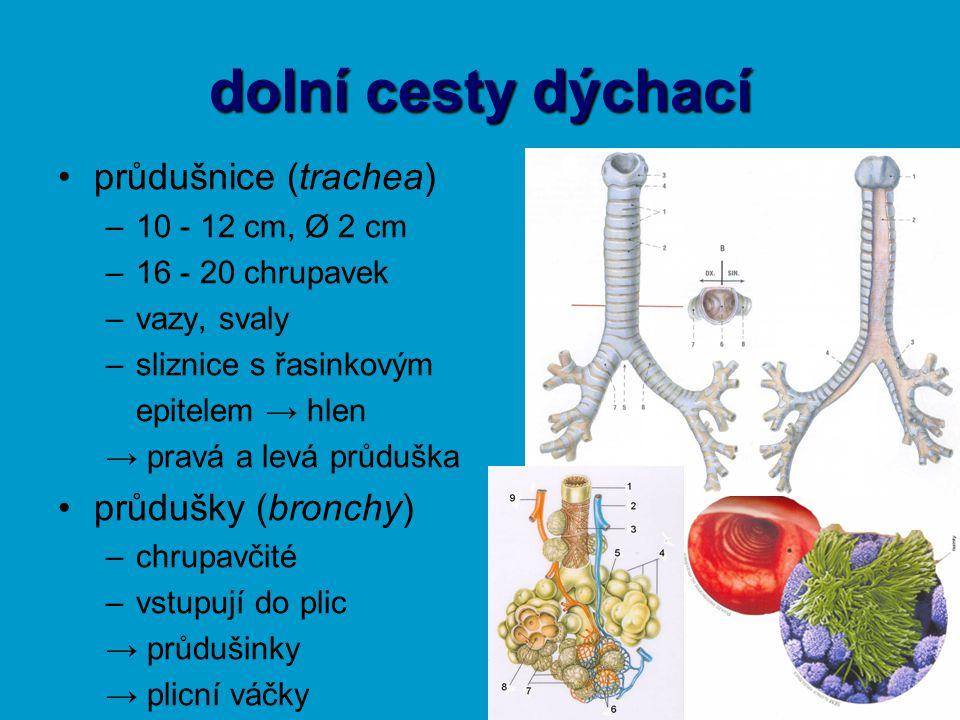 dolní cesty dýchací průdušnice (trachea) –10 - 12 cm, Ø 2 cm –16 - 20 chrupavek –vazy, svaly –sliznice s řasinkovým epitelem → hlen → pravá a levá prů
