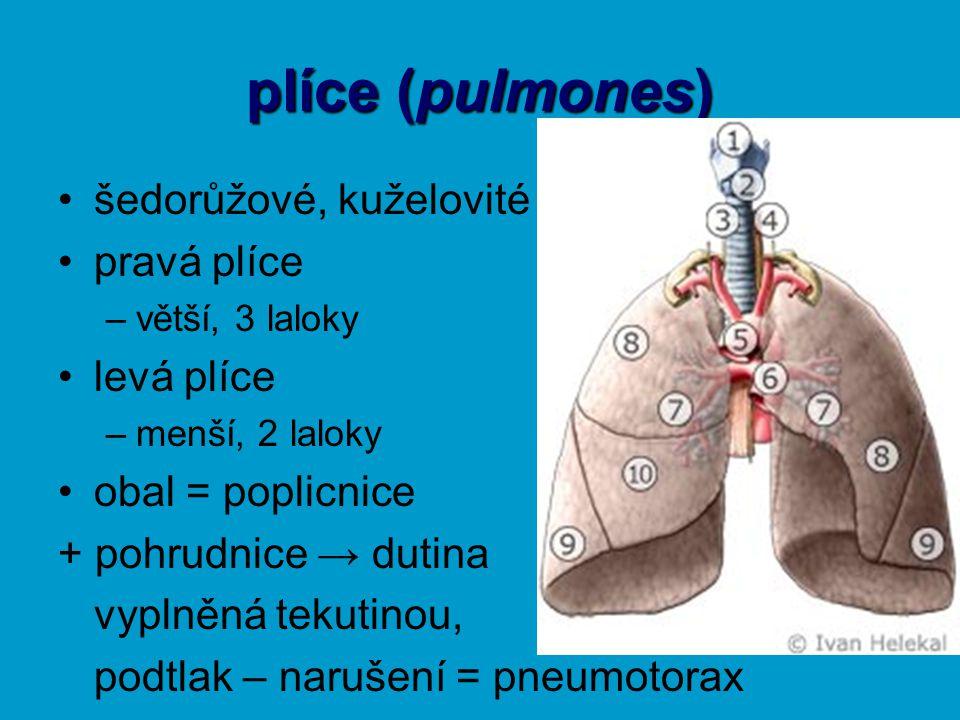 plíce (pulmones) šedorůžové, kuželovité pravá plíce –větší, 3 laloky levá plíce –menší, 2 laloky obal = poplicnice + pohrudnice → dutina vyplněná teku