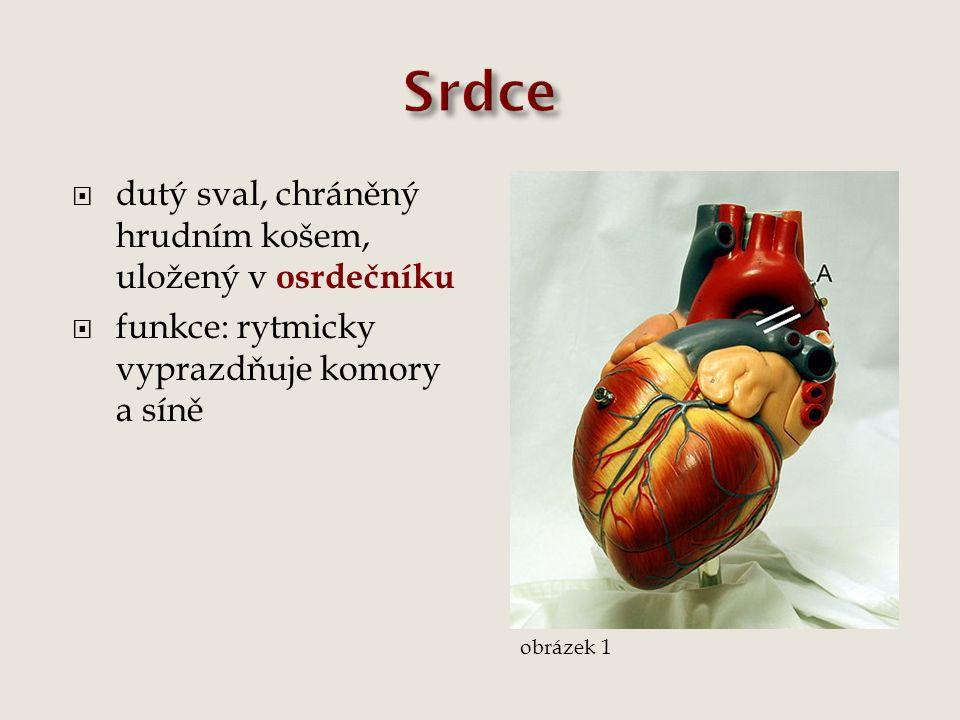  dvě části, pravá a levá, každá část rozdělena na síň a komoru, mezi nimi jsou síňokomorové chlopně (trojcípá vpravo, dvojcípá vlevo)  umožňují proudění krve jen jedním směrem  do srdce vedou žíly, ze srdce vedou tepny, na začátku aorty a plicní tepny jsou poloměsíčité chlopně