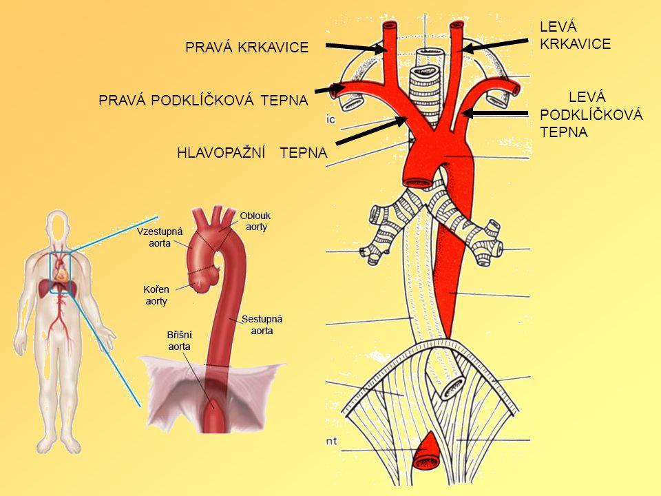PRAVÁ KRKAVICE PRAVÁ PODKLÍČKOVÁ TEPNA HLAVOPAŽNÍ TEPNA LEVÁ KRKAVICE LEVÁ PODKLÍČKOVÁ TEPNA