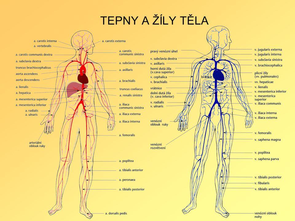 TEPNY A ŽÍLY TĚLA