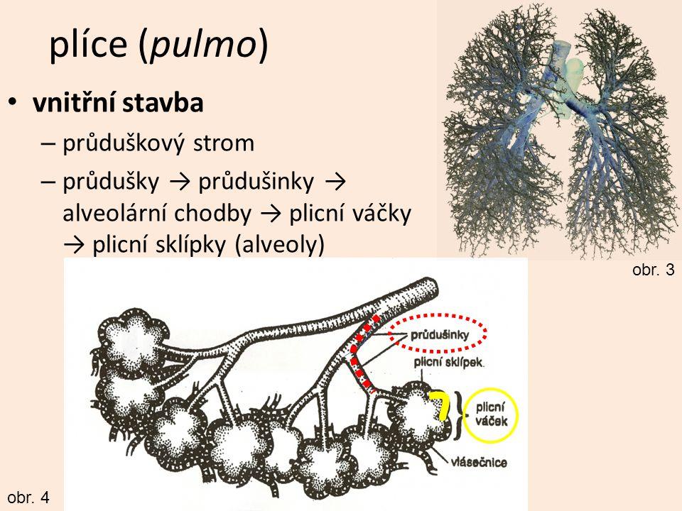 plíce (pulmo) vnitřní stavba – průduškový strom – průdušky → průdušinky → alveolární chodby → plicní váčky → plicní sklípky (alveoly) obr. 3 obr. 4