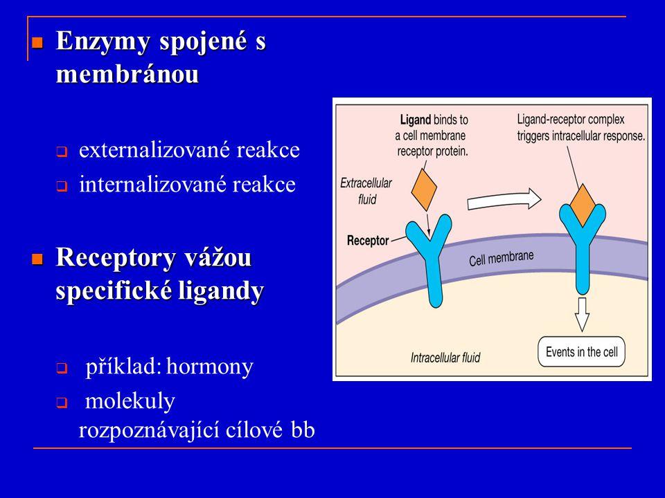 Enzymy spojené s membránou Enzymy spojené s membránou  externalizované reakce  internalizované reakce Receptory vážou specifické ligandy Receptory v