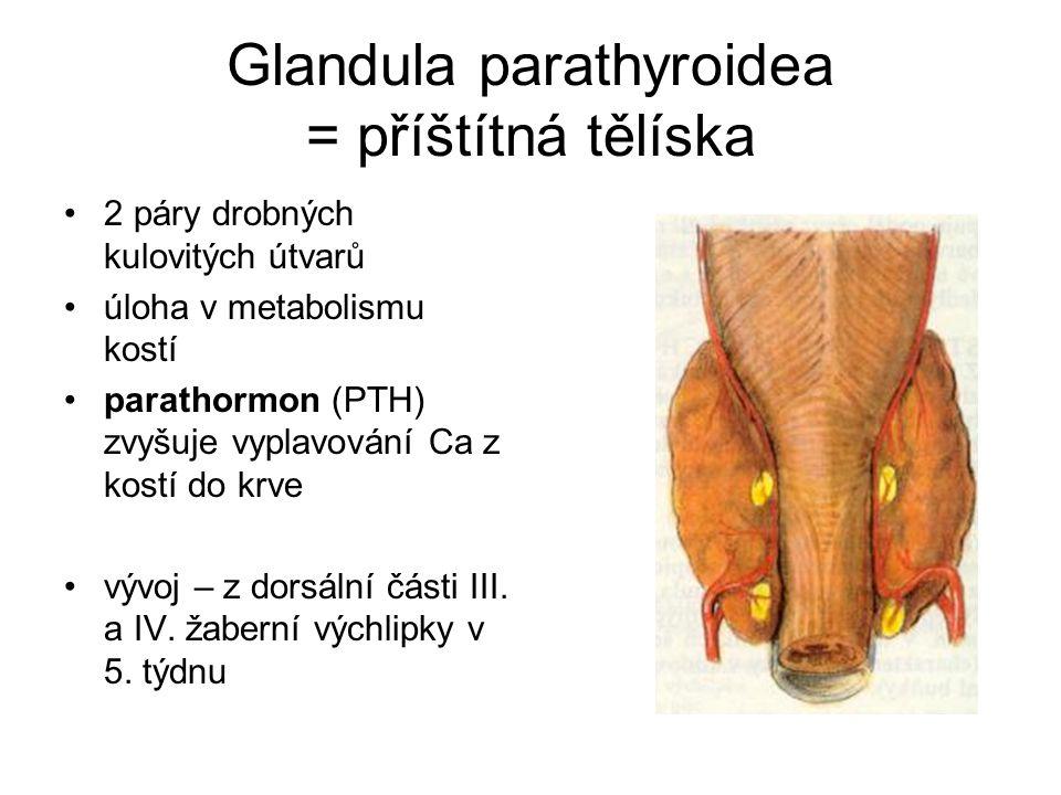 Glandula parathyroidea = příštítná tělíska 2 páry drobných kulovitých útvarů úloha v metabolismu kostí parathormon (PTH) zvyšuje vyplavování Ca z kost