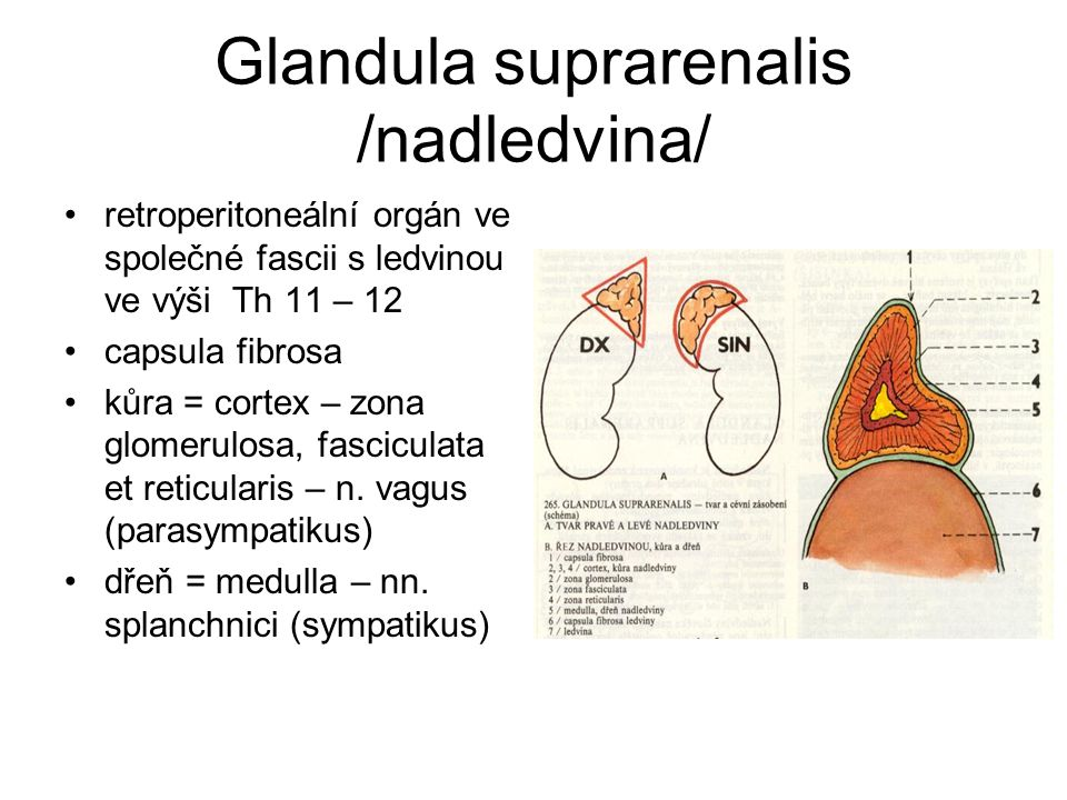Glandula suprarenalis /nadledvina/ retroperitoneální orgán ve společné fascii s ledvinou ve výši Th 11 – 12 capsula fibrosa kůra = cortex – zona glome