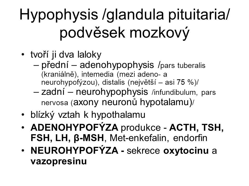 Hypophysis /glandula pituitaria/ podvěsek mozkový tvoří ji dva laloky –přední – adenohypophysis / pars tuberalis (kraniálně), intemedia (mezi adeno- a