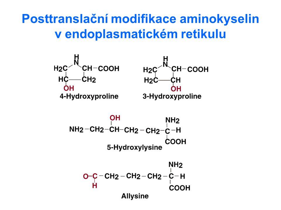 Posttranslační modifikace aminokyselin v endoplasmatickém retikulu