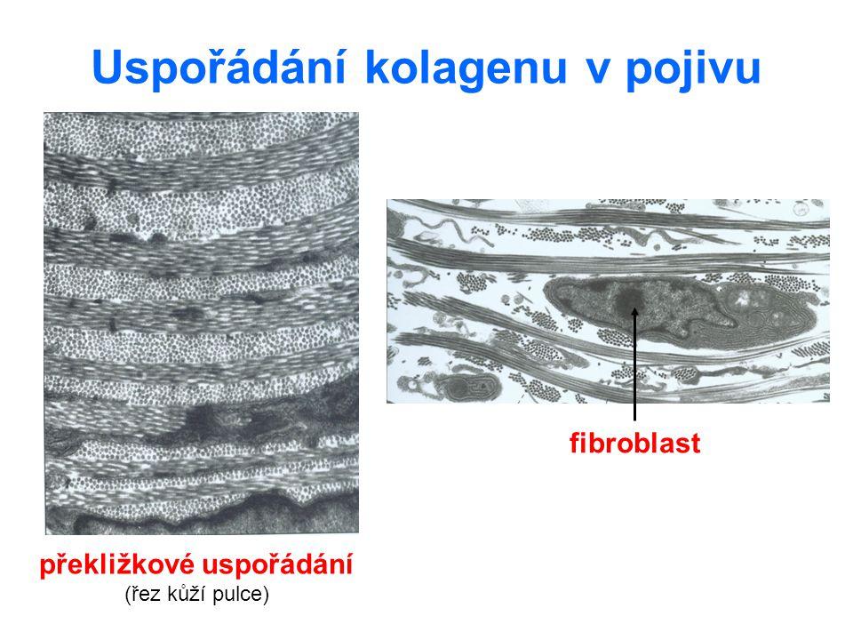 Uspořádání kolagenu v pojivu překližkové uspořádání (řez kůží pulce) fibroblast