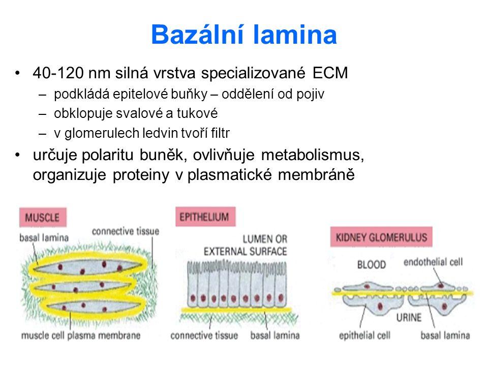 Bazální lamina 40-120 nm silná vrstva specializované ECM –podkládá epitelové buňky – oddělení od pojiv –obklopuje svalové a tukové –v glomerulech ledv