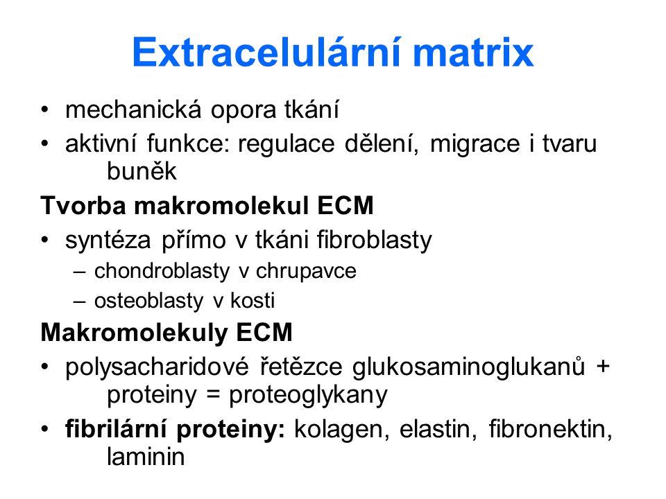 Extracelulární matrix mechanická opora tkání aktivní funkce: regulace dělení, migrace i tvaru buněk Tvorba makromolekul ECM syntéza přímo v tkáni fibr