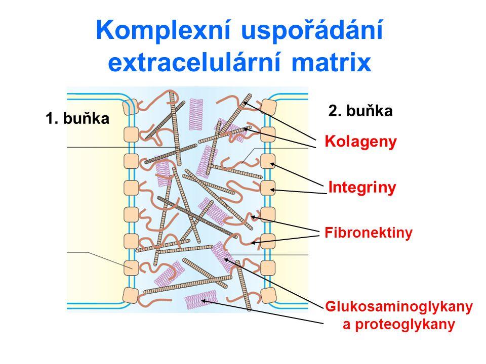 Fibronektiny nekolagenní proteiny s vazebnými místy pro makromolekuly ECM a membránové receptory velké glykoproteiny vyskytující se u všech obratlovců Struktura dimery vazebné domény pro: kolageny, integriny, fibrin Isoformy kódovány 1 genem s cca 50 exony – alternativní sestřich plasmatický – rozpustný ve vodě –cirkuluje v krvi –srážení krve + fagocytóza ostatní formy – nerozpustné ve vodě –propojení vláken ECM na cytoskelet přes integriny –adheze buněk, migrace buněk při gastrulaci
