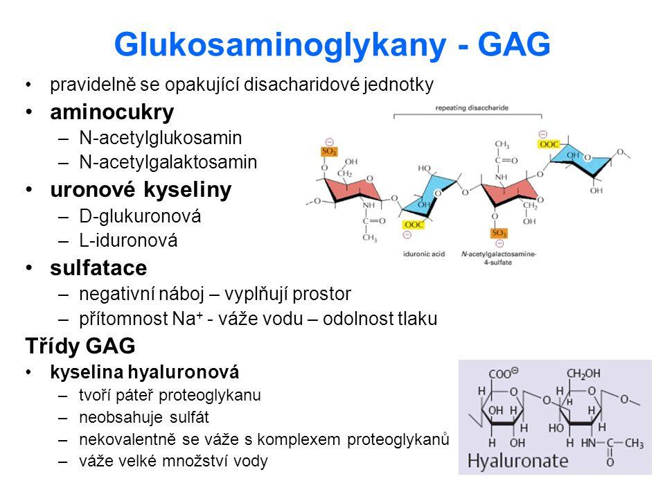 Glukosaminoglykany - GAG pravidelně se opakující disacharidové jednotky aminocukry –N-acetylglukosamin –N-acetylgalaktosamin uronové kyseliny –D-gluku