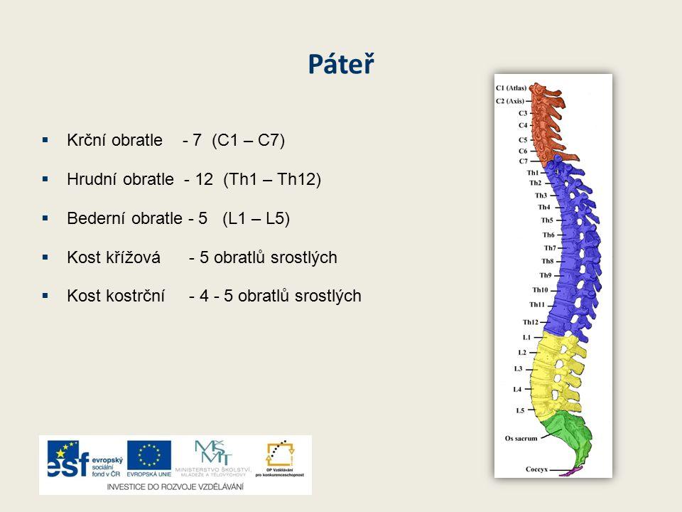 Páteř  Krční obratle - 7 (C1 – C7)  Hrudní obratle - 12 (Th1 – Th12)  Bederní obratle - 5 (L1 – L5)  Kost křížová - 5 obratlů srostlých  Kost kostrční - 4 - 5 obratlů srostlých