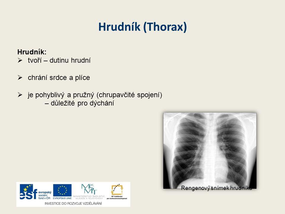 Hrudník (Thorax) Hrudník:  tvoří – dutinu hrudní  chrání srdce a plíce  je pohyblivý a pružný (chrupavčité spojení) – důležité pro dýchání Rengenový snímek hrudníku