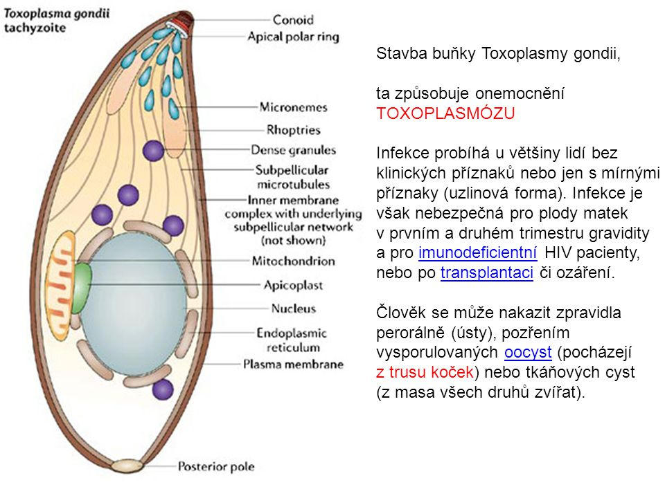 Stavba buňky Toxoplasmy gondii, ta způsobuje onemocnění TOXOPLASMÓZU Infekce probíhá u většiny lidí bez klinických příznaků nebo jen s mírnými příznaky (uzlinová forma).