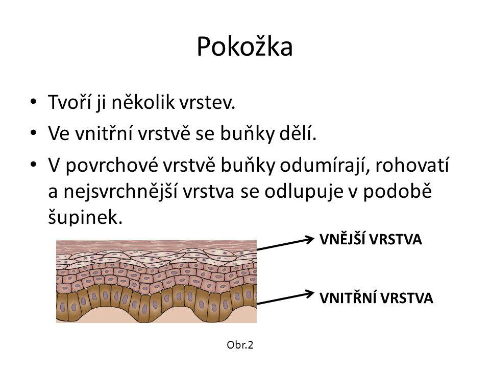 Pokožka Tvoří ji několik vrstev. Ve vnitřní vrstvě se buňky dělí. V povrchové vrstvě buňky odumírají, rohovatí a nejsvrchnější vrstva se odlupuje v po