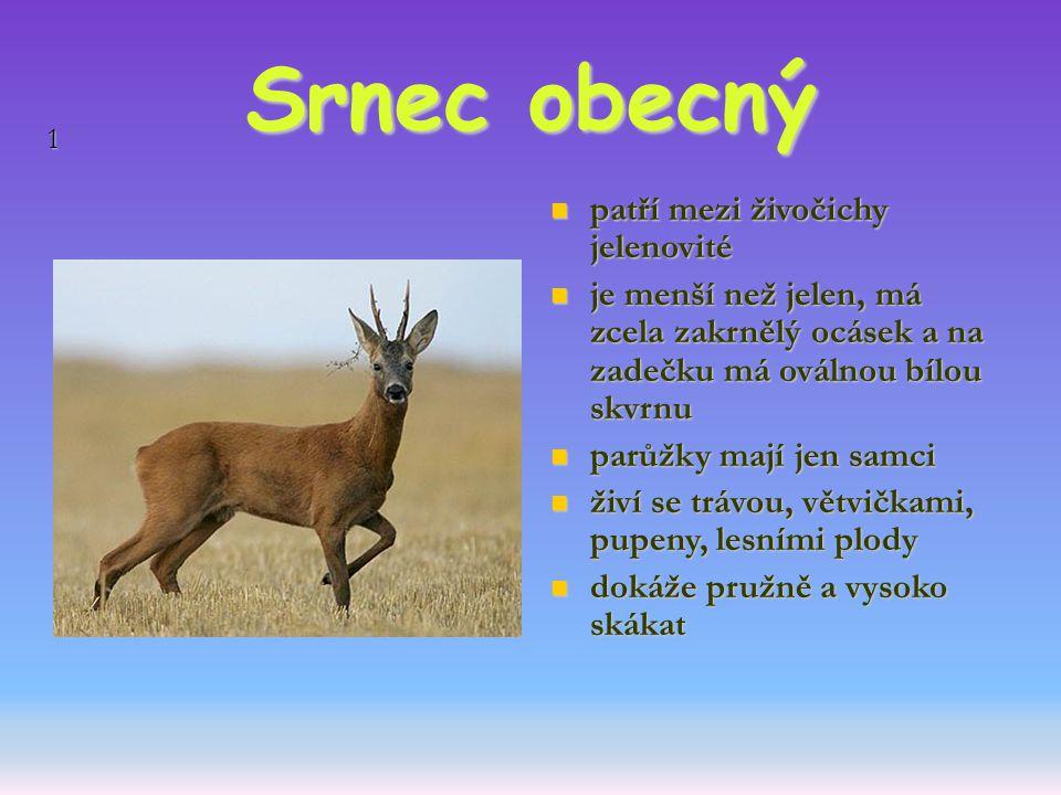 1 Srnec obecný patří mezi živočichy jelenovité patří mezi živočichy jelenovité je menší než jelen, má zcela zakrnělý ocásek a na zadečku má oválnou bí