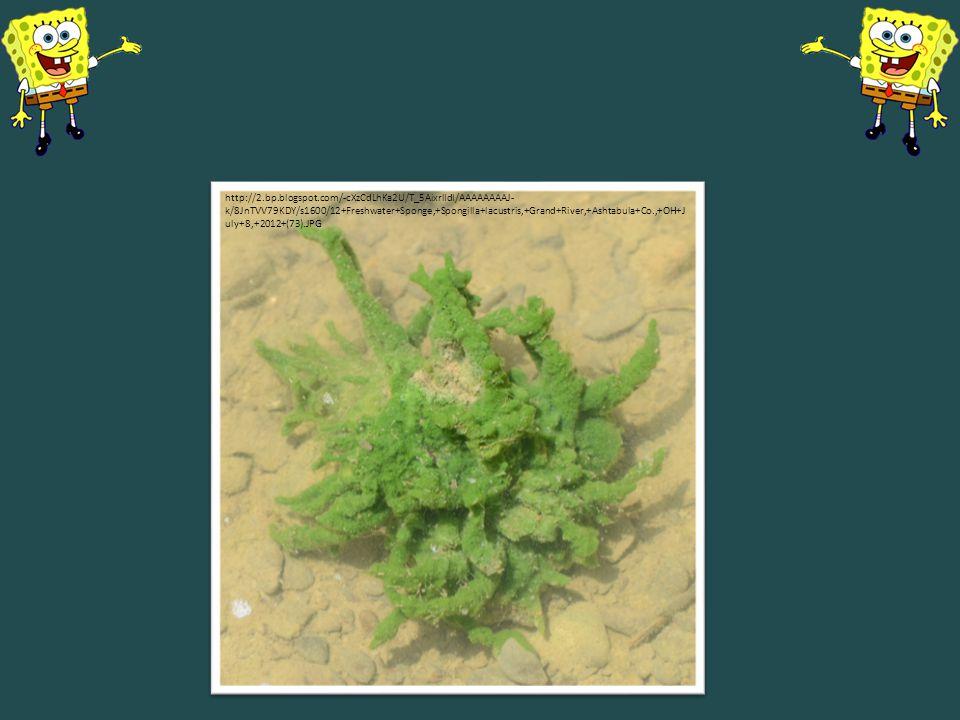 http://2.bp.blogspot.com/-cXzCdLhKa2U/T_5AixrlIdI/AAAAAAAAJ- k/8JnTVV79KDY/s1600/12+Freshwater+Sponge,+Spongilla+lacustris,+Grand+River,+Ashtabula+Co.