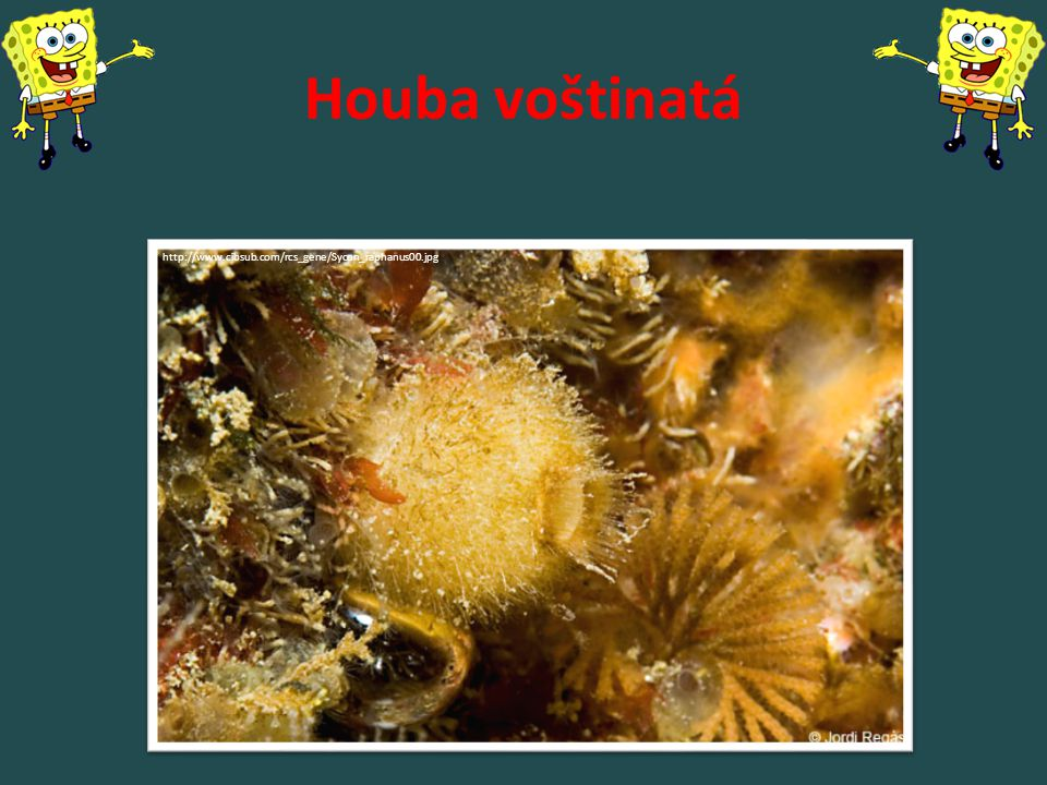 http://img103.fansshare.com/pic31/w/non-celebrity/1200/743_spongia_officinalis.jpg