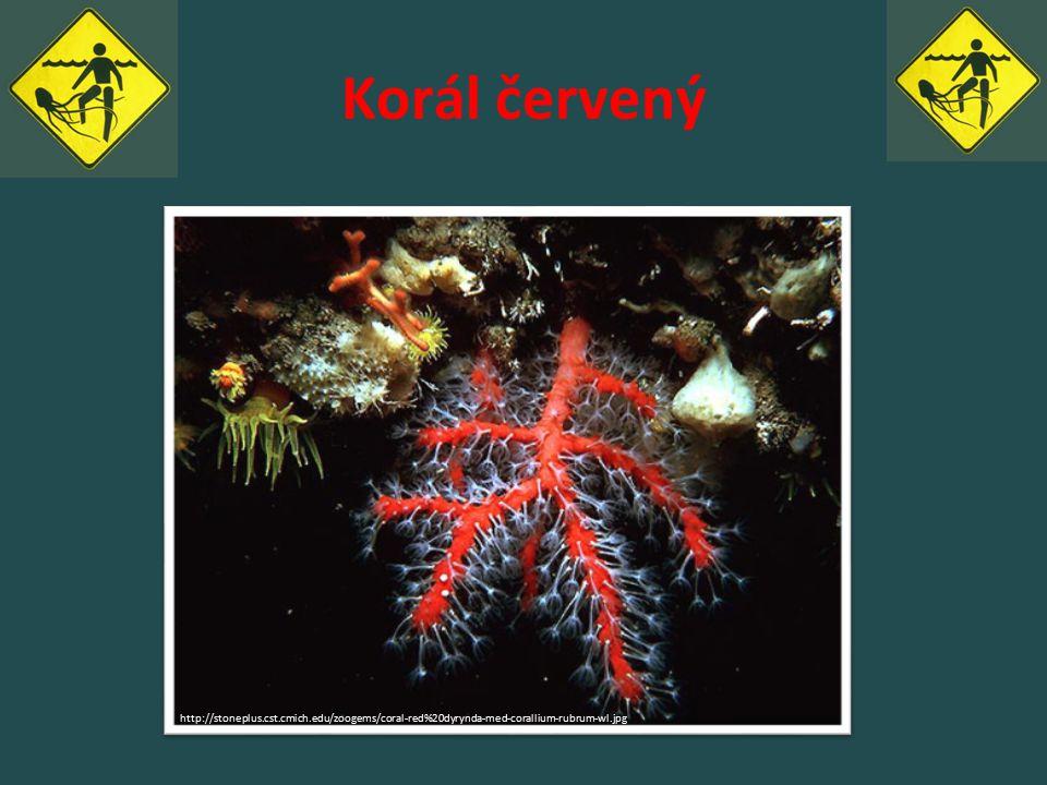Korál červený http://stoneplus.cst.cmich.edu/zoogems/coral-red%20dyrynda-med-corallium-rubrum-wl.jpg