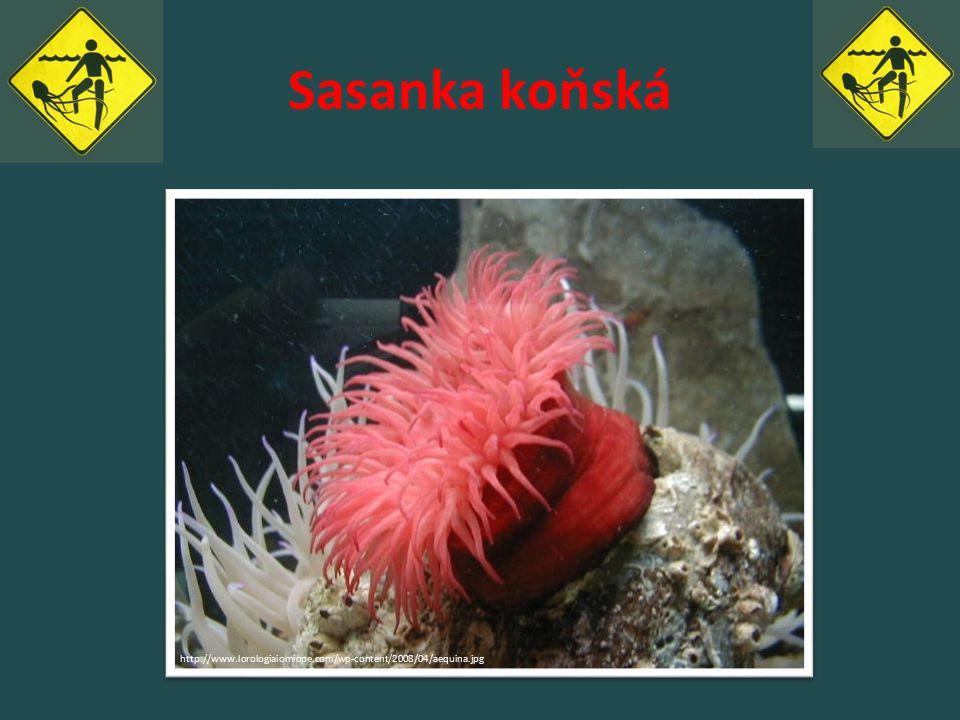 Sasanka koňská http://www.lorologiaiomiope.com/wp-content/2008/04/aequina.jpg