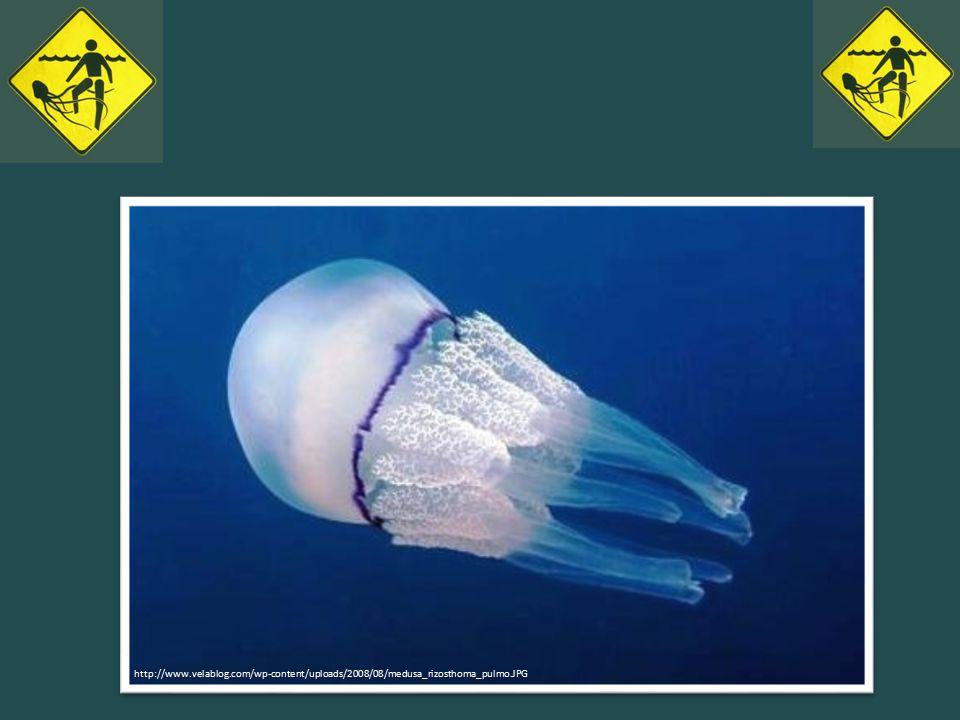 http://www.velablog.com/wp-content/uploads/2008/08/medusa_rizosthoma_pulmo.JPG