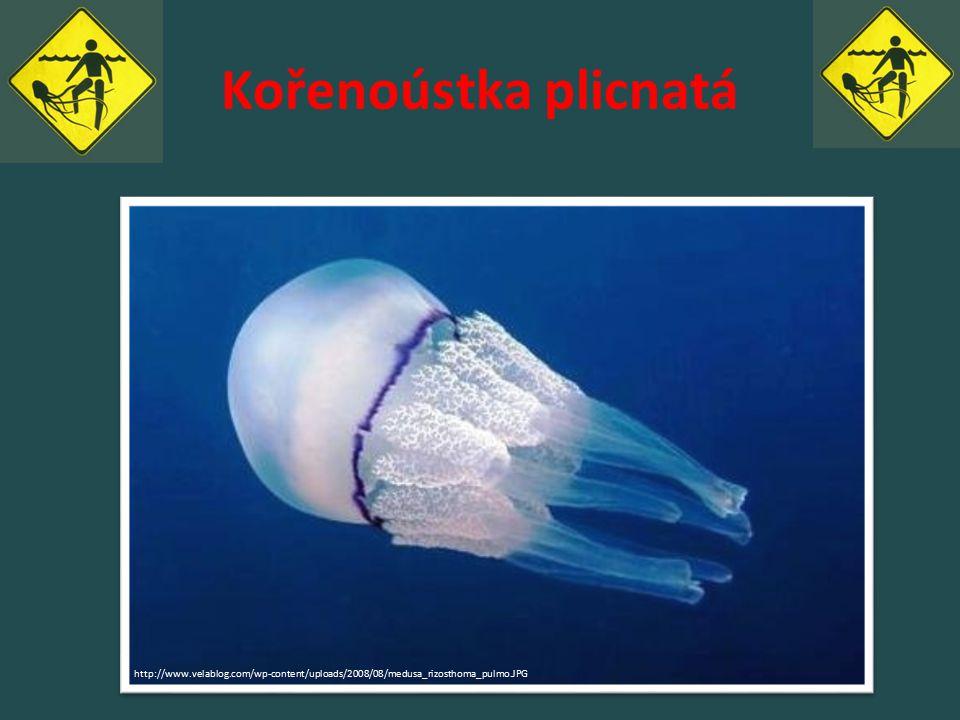 Kořenoústka plicnatá http://www.velablog.com/wp-content/uploads/2008/08/medusa_rizosthoma_pulmo.JPG