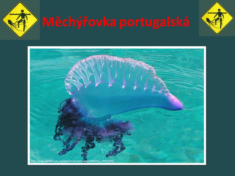 Měchýřovka portugalská http://www.geoffschultz.org/Reef/Creatures/images/20060316_144410.JPG